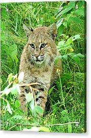Bobcat Lynk Sitting In Grass Close-up Acrylic Print by Sylvie Bouchard