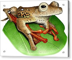 Borneo Red Flying Frog Acrylic Print by Roger Hall