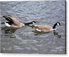 Bossy Canada Goose Acrylic Print