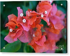 Bougainvillea Acrylic Print by Roselynne Broussard