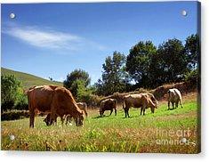 Bovine Cattle  Acrylic Print
