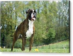 Boxer Dog Acrylic Print by Johan De Meester
