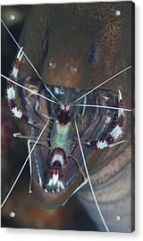 Boxer Shrimp Cleaning In Mouth Of Eel Acrylic Print by Science Photo Library