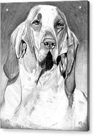 Bracco Italiano Dog Portrait Acrylic Print by Olde Time  Mercantile