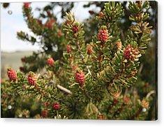 Bristlecone Pine Acrylic Print