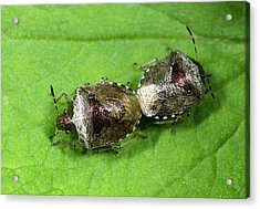Bronze Shieldbugs Mating Acrylic Print by Nigel Downer