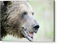 Brown Bear Acrylic Print by Dr P. Marazzi/science Photo Library