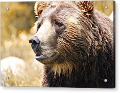 Brown Bear Portrait In Autumn Acrylic Print by Dan Sproul