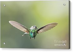 Brown Violet-ear Hummingbird Acrylic Print by Dan Suzio