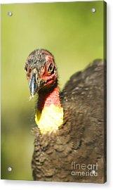 Brush Scrub Turkey Acrylic Print by Jorgo Photography - Wall Art Gallery