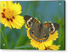 Buckeye Butterfly Acrylic Print
