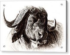 Buffalo Sketch Acrylic Print by Mike Gaudaur