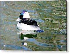 Bufflehead Drake Acrylic Print by James Lewis