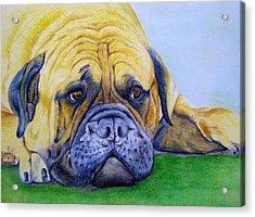 Bulldog Acrylic Print by Prashant Shah