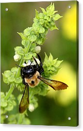 Bumbling On The Basil Acrylic Print