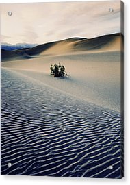 Bushes In Sand Dunes At Dusk Acrylic Print by Gary Yeowell
