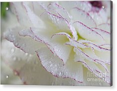 Buttercup Flower With Dew Acrylic Print by Nailia Schwarz