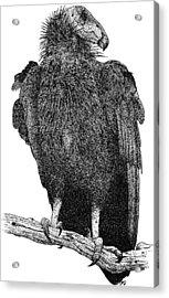 California Condor Acrylic Print by Roger Hall