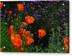 Acrylic Print featuring the photograph California Poppies by Lynn Bauer