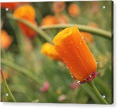 California Poppies Acrylic Print by Rona Black