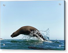 California Sea Lion Acrylic Print by Christopher Swann