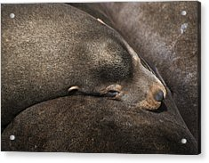 California Sea Lions  Zalophus Acrylic Print