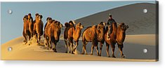 Camel Caravan In A Desert, Gobi Desert Acrylic Print by Panoramic Images