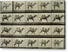 Camel Acrylic Print by Eadweard Muybridge