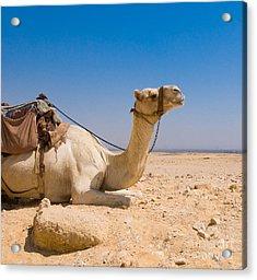 Camel In Desert Acrylic Print by Konstantin Kalishko