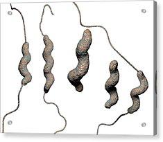 Campylobacter Jejuni Bacteria Acrylic Print by Hipersynteza