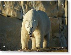 Canada, Nunavut Territory, Polar Bear Acrylic Print by Paul Souders