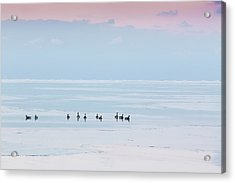 Canadian Geese Sit On Lake Ontario Acrylic Print by Ed Norton