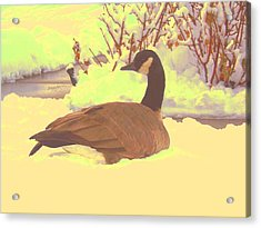 Acrylic Print featuring the pyrography Canadian Goose by Larry Campbell