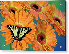Canadian Tiger Swallowtail Butterfly Acrylic Print