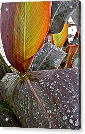 Canna Lily I  Acrylic Print by Kirsten Giving