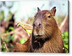 Capybara And Cattle Tyrant Acrylic Print