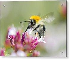 Carder Bee Acrylic Print