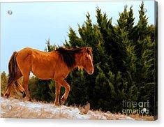 Carrot Island Pony Acrylic Print