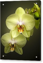 Cascade Of Yellow Orchids Acrylic Print