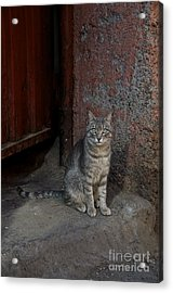 Cat Acrylic Print by Louise Fahy