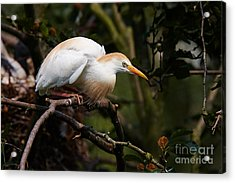 Cattle Egret In A Tree Acrylic Print