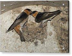 Cave Swallows Acrylic Print by Anthony Mercieca