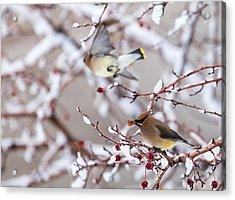 Cedar Waxwing Acrylic Print