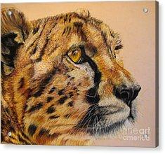 Cheetah Gaze Acrylic Print by Ann Marie Chaffin