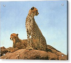 Cheetahs Acrylic Print by David Stribbling