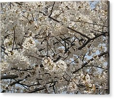 Cherry Blossoms Acrylic Print by DustyFootPhotography