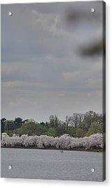 Cherry Blossoms - Washington Dc - 011323 Acrylic Print by DC Photographer