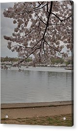 Cherry Blossoms - Washington Dc - 011336 Acrylic Print by DC Photographer