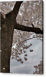 Cherry Blossoms - Washington Dc - 011340 Acrylic Print by DC Photographer
