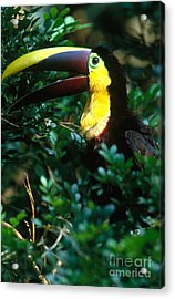 Chestnut-mandibled Toucan Acrylic Print by Art Wolfe